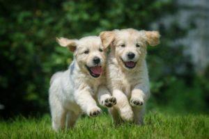 puppies-running-631x420